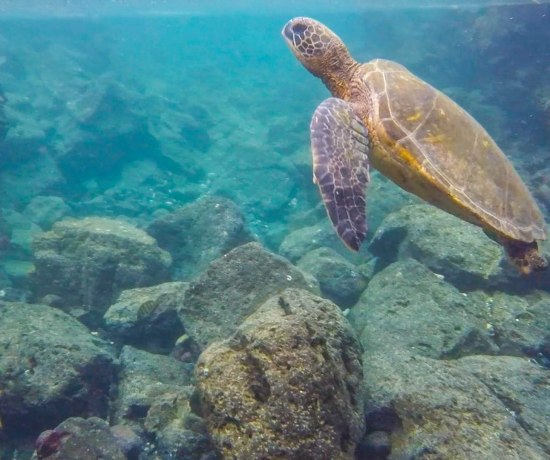 Sea Turtle - Big Island, Hilo, Hawaii