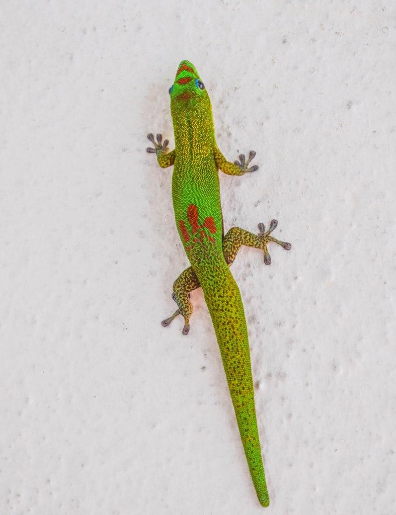 Green Gecko - Hilo, Hawaii