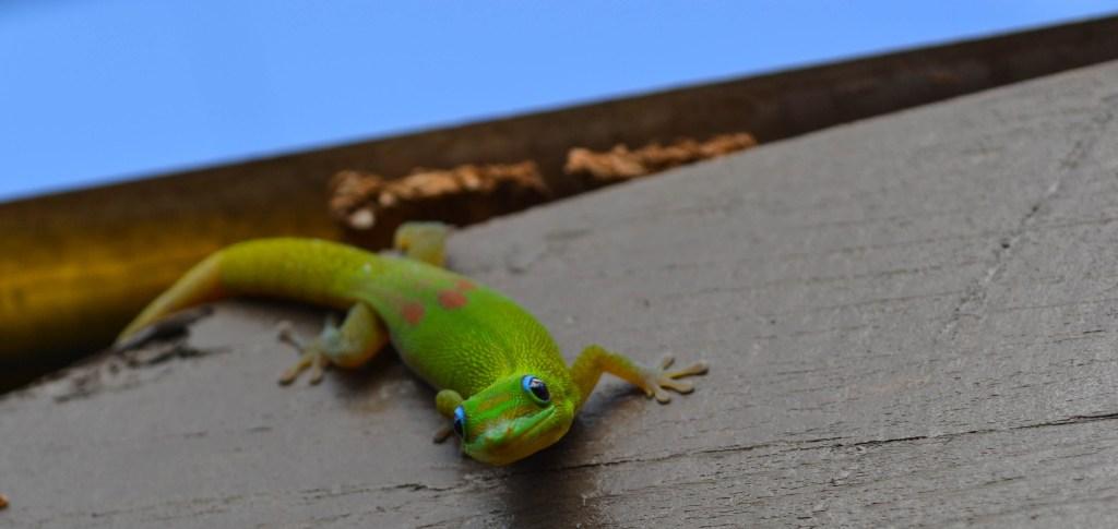 Green gecko, north shore Oahu Hawaii