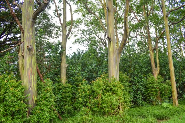 Rainbow Eucalyptus Trees along the Road to Hana