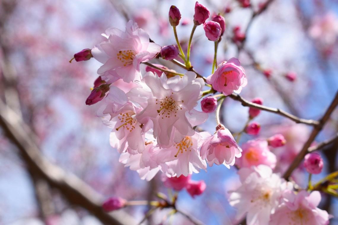 Sakura Cherry Blossom, Japan