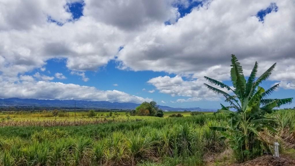Ko Hana Rum Sugarcane Fields