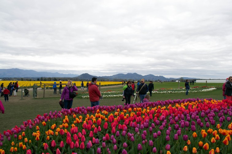 Skagit Tulips5
