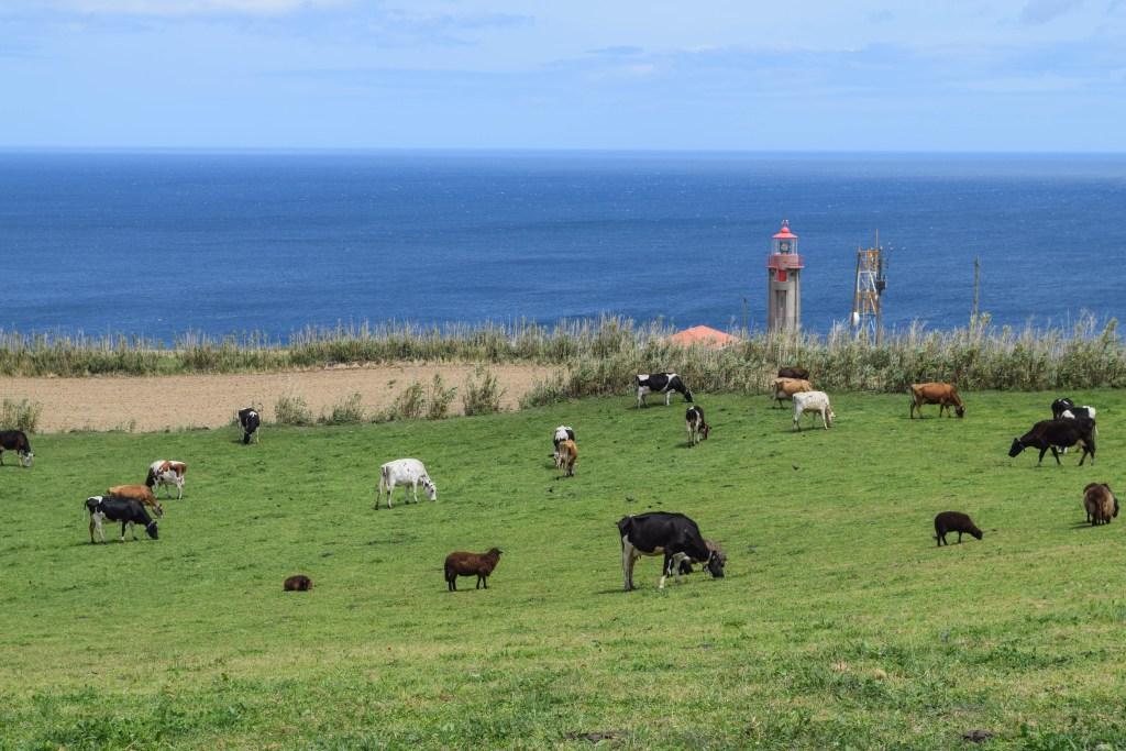 Cows on Sao Miguel Island, Azores