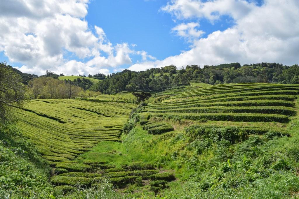 Cha Gorreana Tea, Sao Miguel, Azores