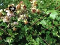 Pollen-gatherer