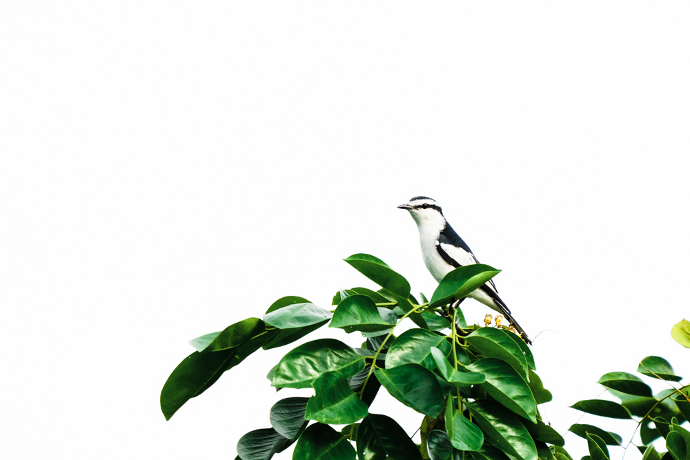 CulturallyOurs A Guide To Birding 101 Pied Triller Manila Philippines