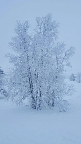Snow laden tree Venabu