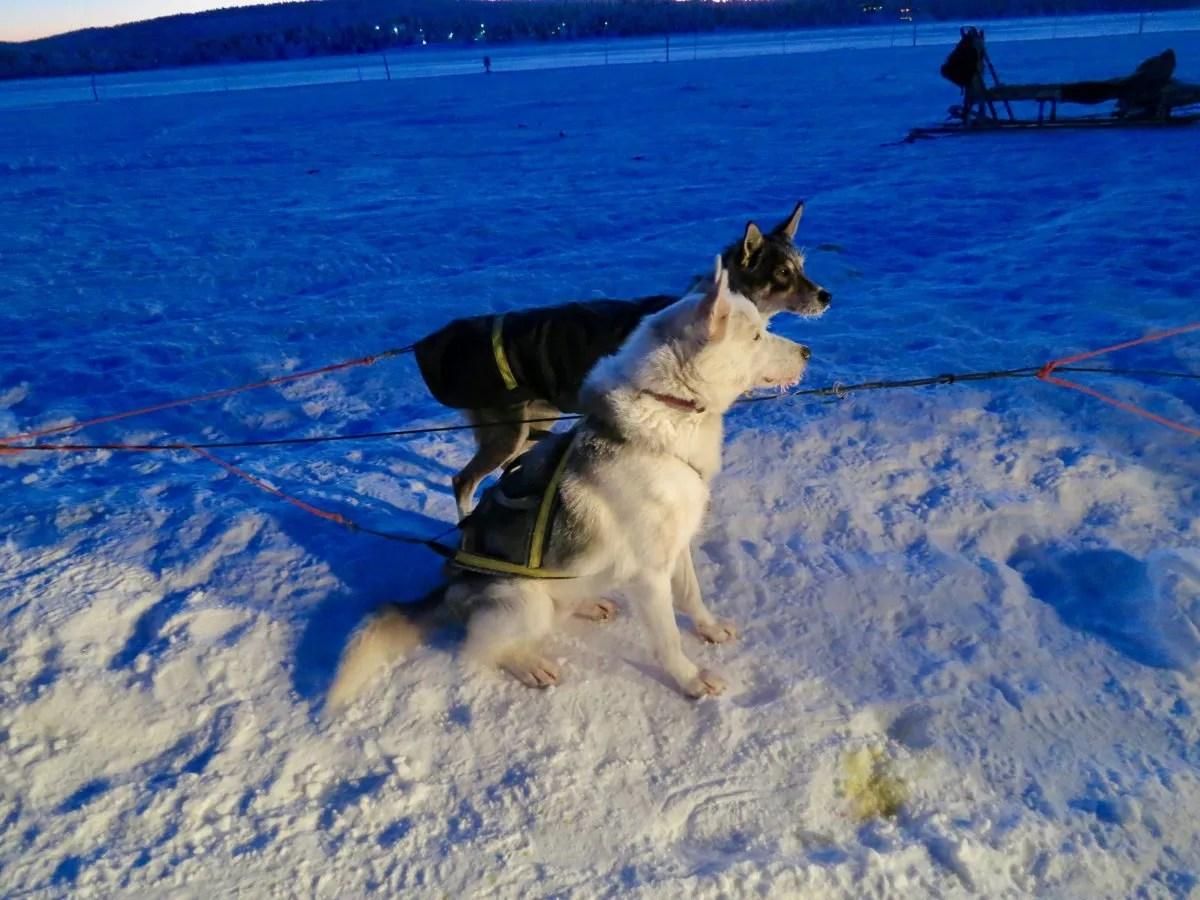 Husky Dogs IceHotel Sweden