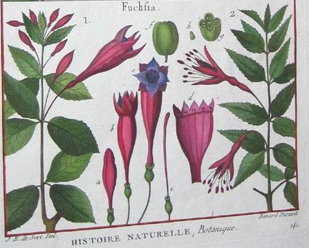Fuchsias plumier