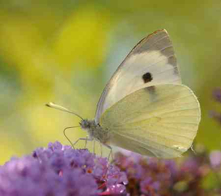 ComputerHotline_-_Pieris_brassicae_(by)