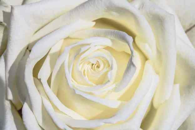 white-rose-3170283_960_720