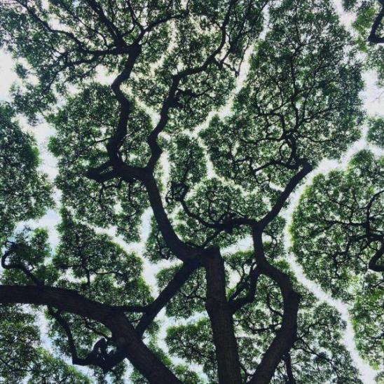 arbres_etonnants_timidite_des_cimes_010-600x600