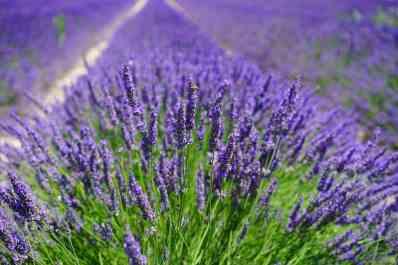lavender-field-1595587_960_720