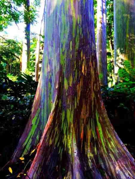 eucalyptus-arc-en-ciel-9