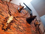 Boar and stag taxidermy at Malmaison in Aberdeen
