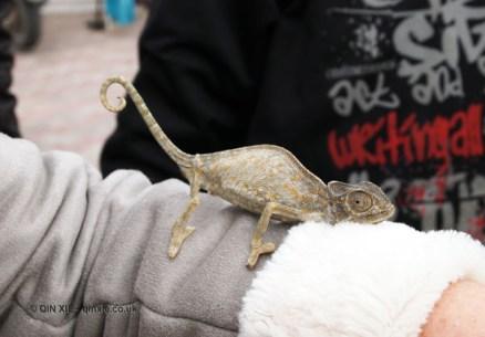 Chameleon, Tunisia