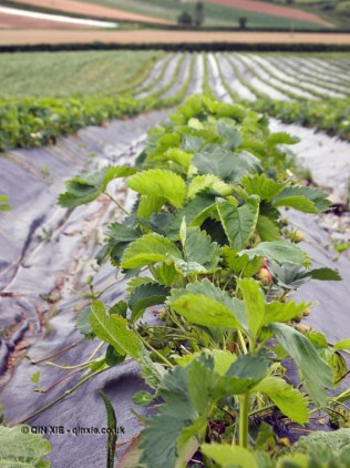 Strawberries in field at Riverord Organics
