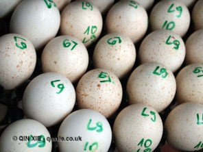 Turkey eggs numbered, Kelly Bronze, Essex