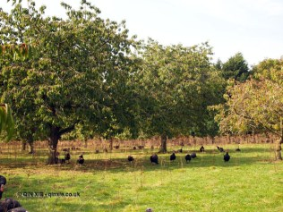 Turkey in cherry orchards at Copas farm