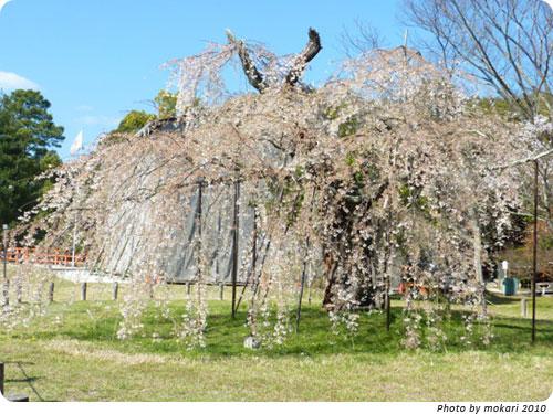 20100412-17 京都市花見:上賀茂神社2010年 御所桜