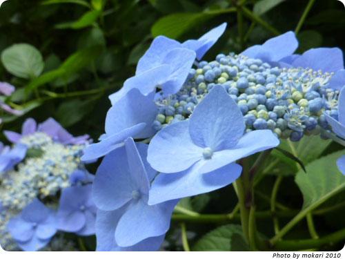 20100629-8 2010年京都府立植物園のあじさいと、園長さんありがとう。