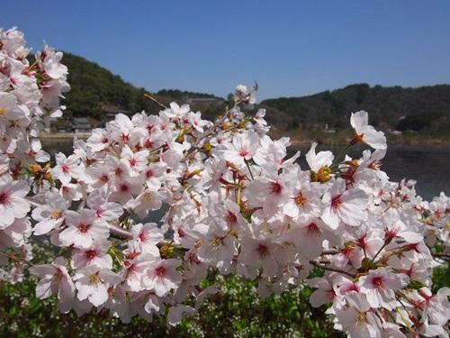 P4055060 深泥池で桜とミツガシワ(2013年4月)
