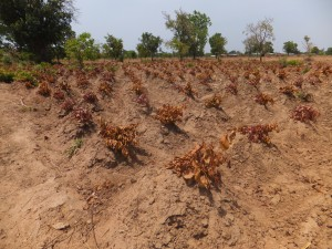Mounds housing the growing yam tubers