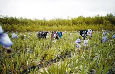 Dans les champs d'iris © Pierre Even / Chanel