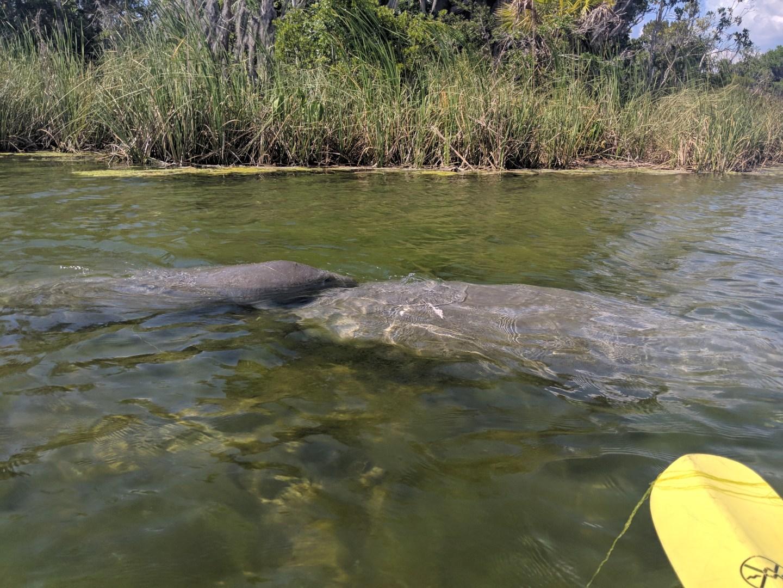 Kayaking with manatees in Florida