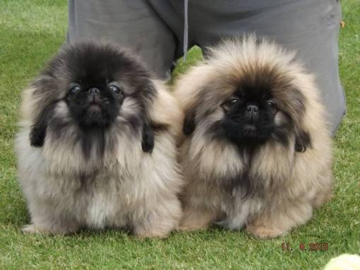 kc-reg-pure-bred-pekingese-female-puppies-for-sale-5207774e9be4c