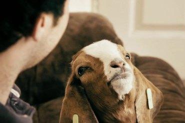 James Button goat