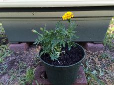 One marigold that didn't fit in the flower bed.