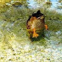 duck-in-pond.jpg