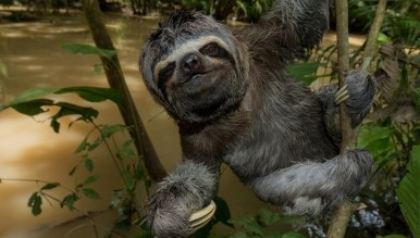 """""""Splash"""" the three-toed sloth features in the """"Under the Canopy"""" film sponsored by SC Johnson. Photo Lucas Bustamante"""