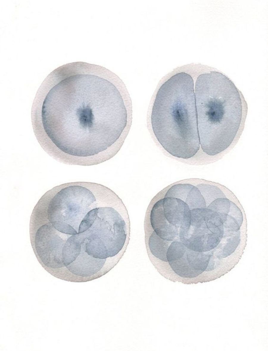 Zygote Stages