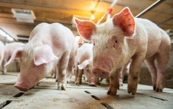 Porc UE : l'Espagne championne de l'exportation en 2020 (+55%)