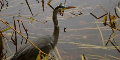 photograph of a great blue heron standing in a lake