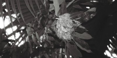 A crumpled rhododendron flower on a leafy tropical background