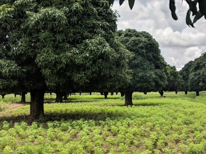 Mango trees in a field of sesame plants