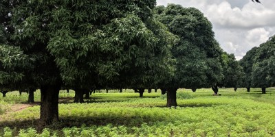 Mango trees in a field of sesame plants