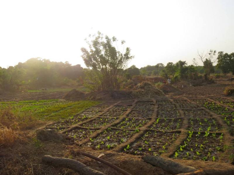 A sunlit garden at the beginning of the growing season in Burkina Faso