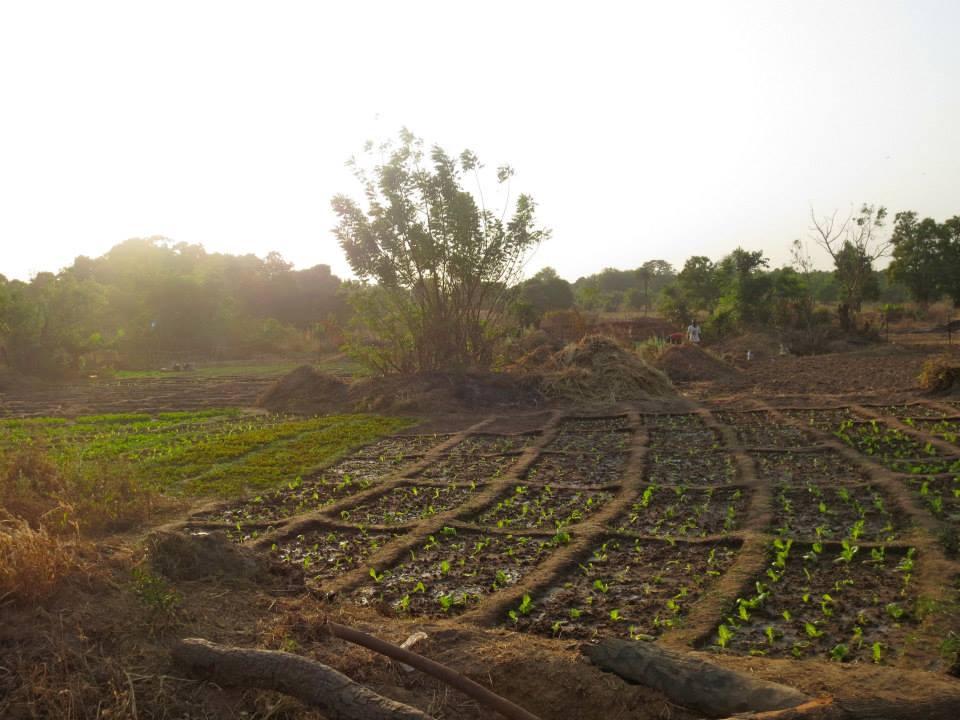 A sunlit garden at the beginning of the growing season in Burkina Faso