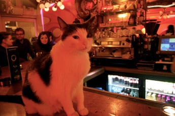 David Bowie, the resident cat at De Dampkring coffeeshop in Amsterdam, Netherlands. Photo taken by Josie Lucero.