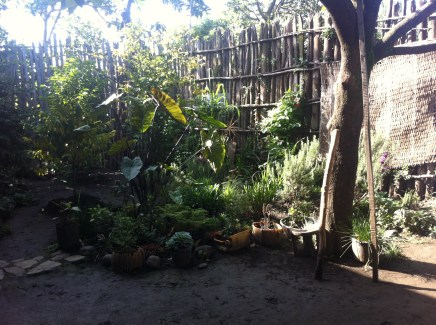 The front yard with coffee trees