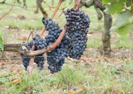 Uvas de Viñedo