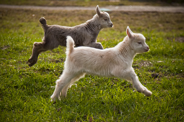 Baby toggenburg goats running in NYC outdoors