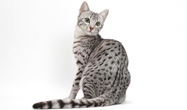 cele mai scumpe rase de pisici