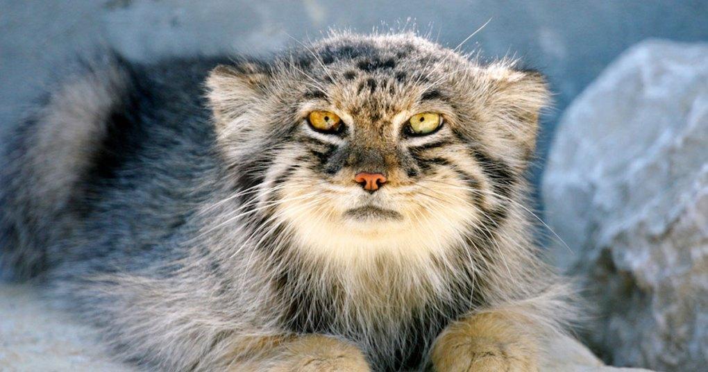 pisica-pallas-manul
