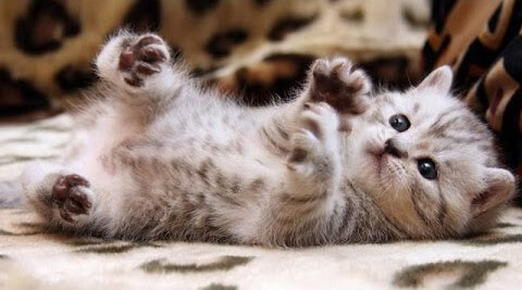 ce trebuie sa stii cand adopti un pui de pisica
